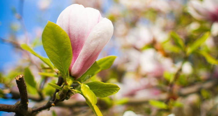 Taille du Magnolia