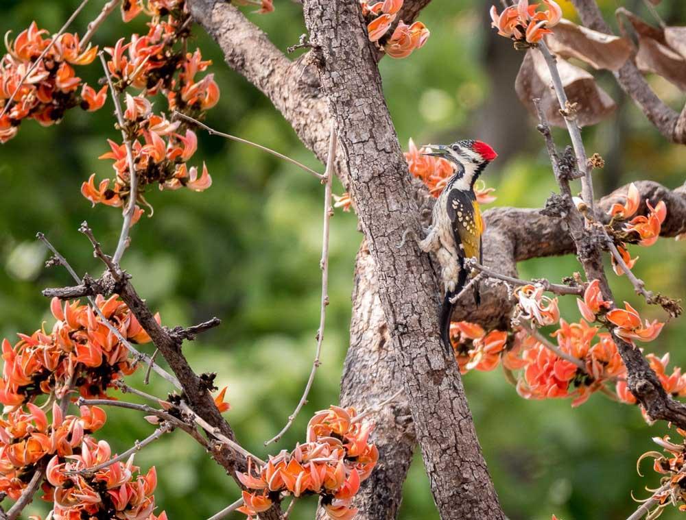 Travelbay India Tours - Customer Reviews - Simon & Gina in India - Kanha National Park Woodpecker