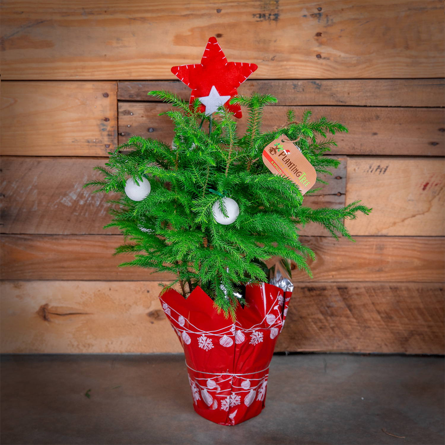Mini Christmas Tree - Norfolk Island Pine