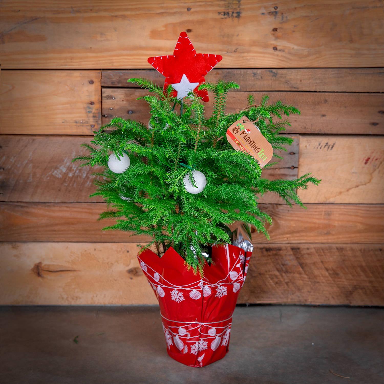 Mini Christmas Tree - Norfolk Island Pine