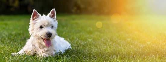 A small white dog laying in a field of green grass
