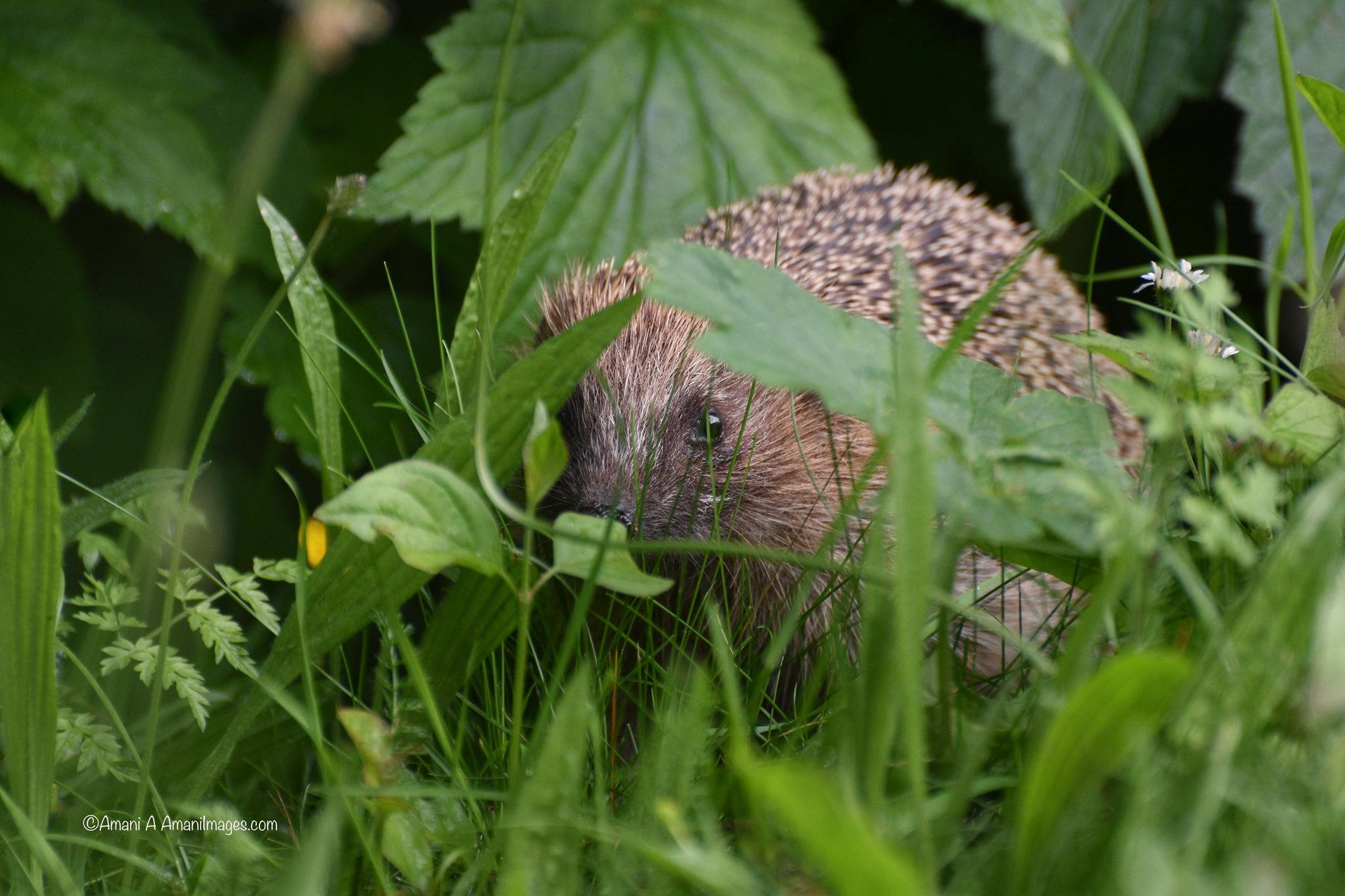 single hedgehog in the wild