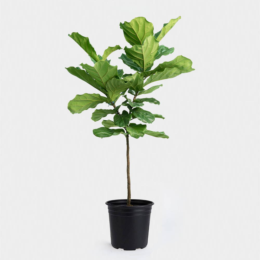 Greenery Nyc Fiddle Leaf Fig Care