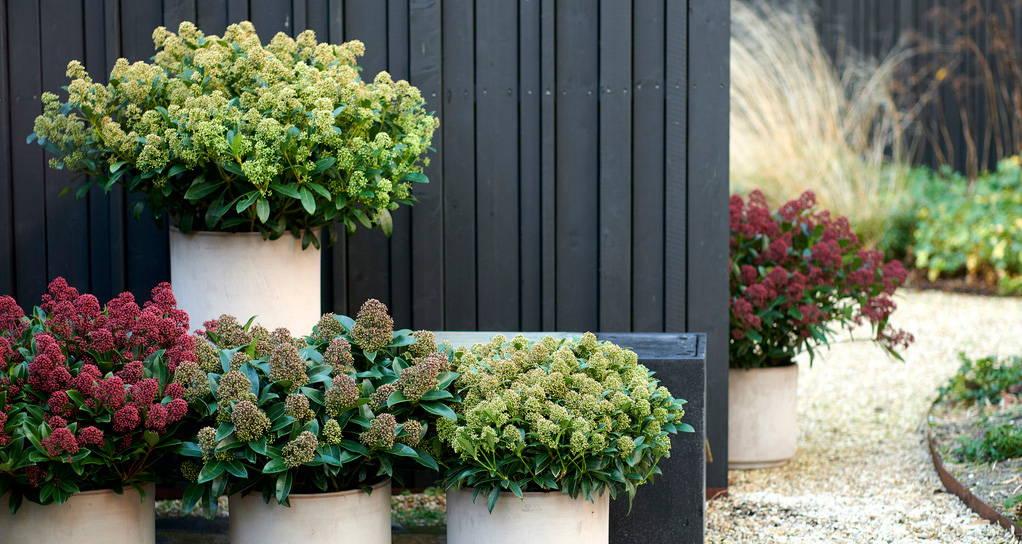 Garden plants: Skimmia