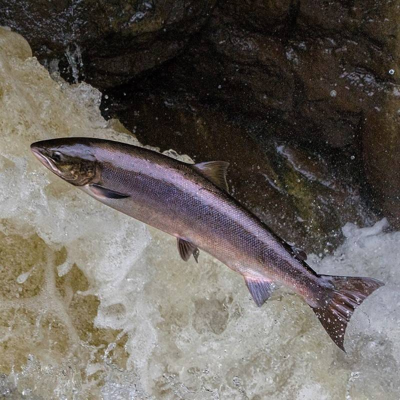 A leaping salmon in a river