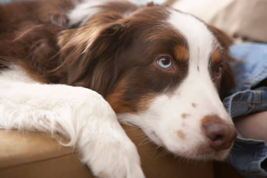 Brown and white Australian shepherd with one blue eye laying down on a tan couch