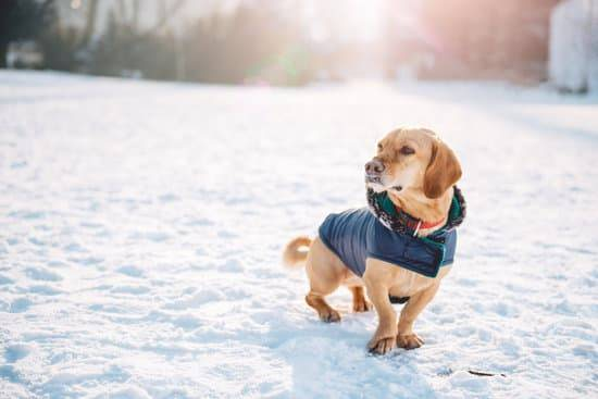 A dog stands in snow while wearing a white vest