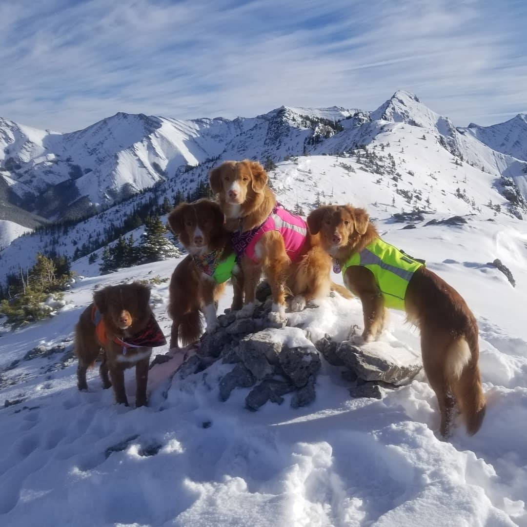 nova scotia duck tolling retrievers hiking top of snowy mountain