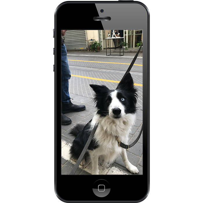 Border_Collie_boompup_photo_guide