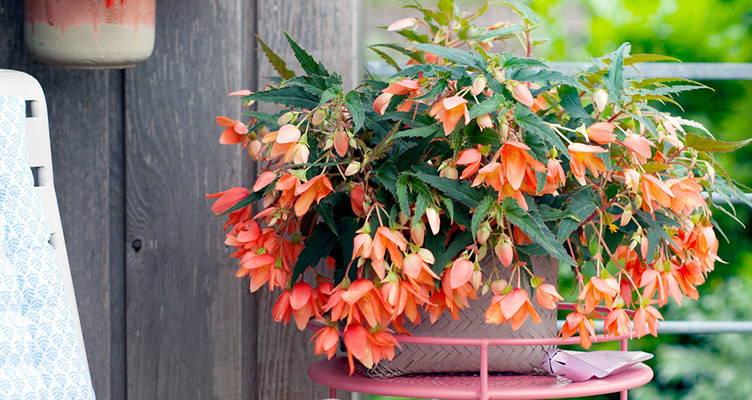 Plante de balcon : le bégonia retombant