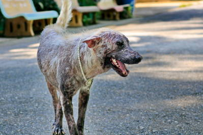 Demodectic Mange: How Common Is Mange In Dogs - Team K9