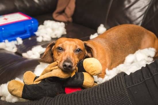 A brown dog holding a toy in his mouth with stuffing everywhere on the leather couch