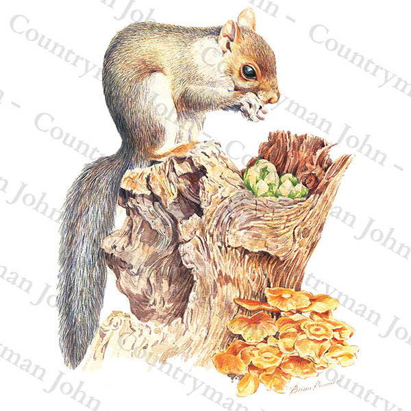Countryman John Squirrel Artwork - 1401