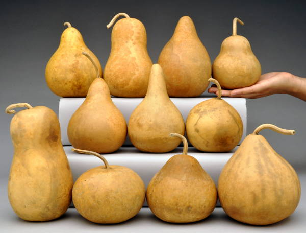 Large Mini Gourds