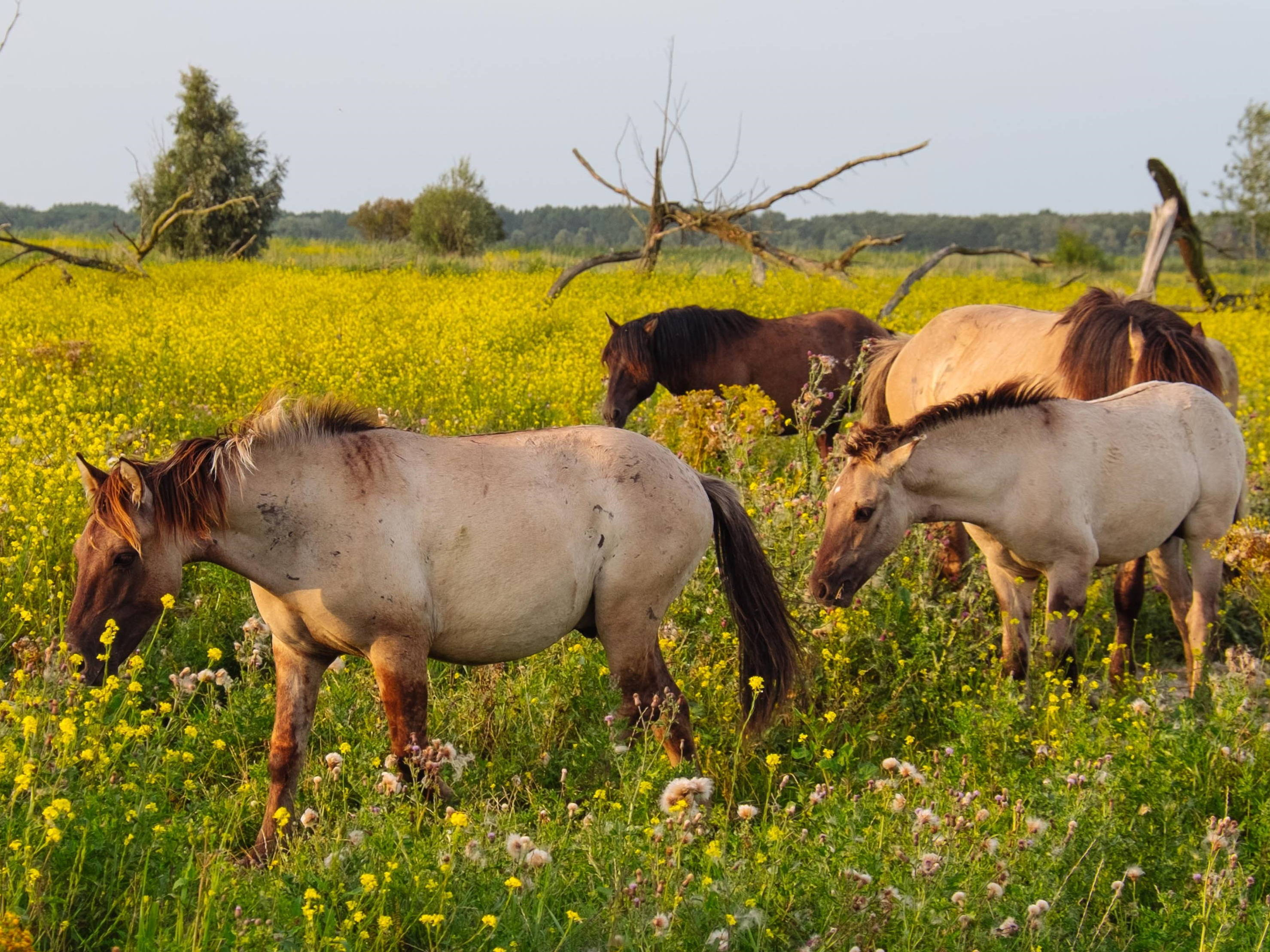 Feral konik horses walk through a field of wildflowers at golden hour