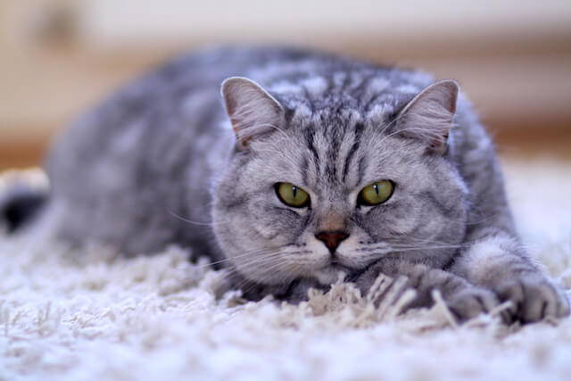 Vitamin B12 Deficiency in Cats: The Role of the Gut