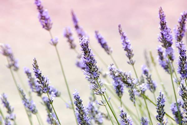 Herbs as Ornamentals