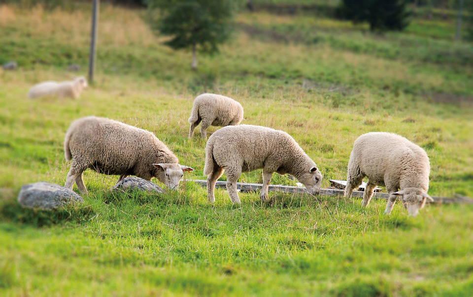 ソックウェル 羊