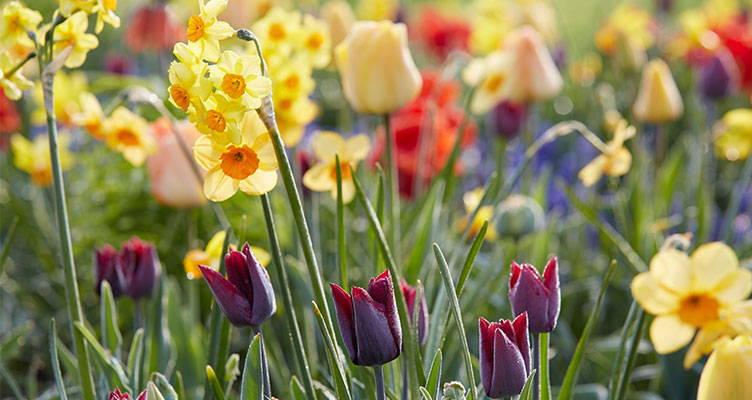 Pflege von Blumenzwiebeln nach der Blüte