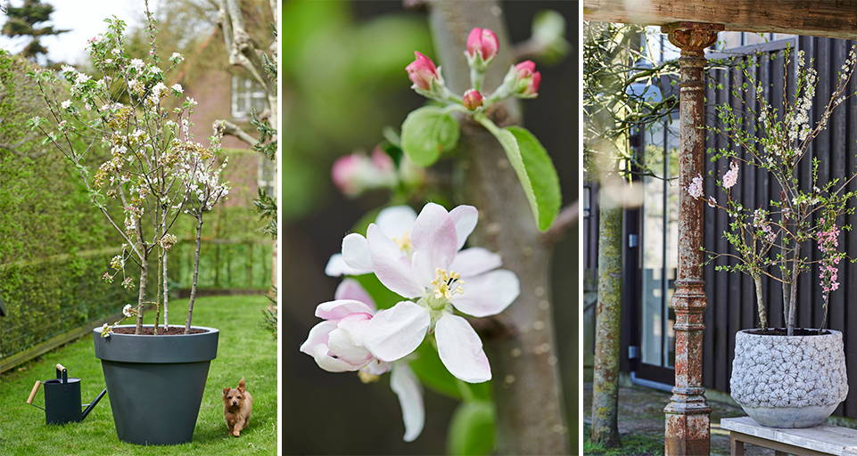 Gartenpflanzen - Blütenbäume