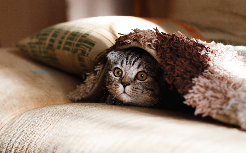 Tabby Cat Under A Rug