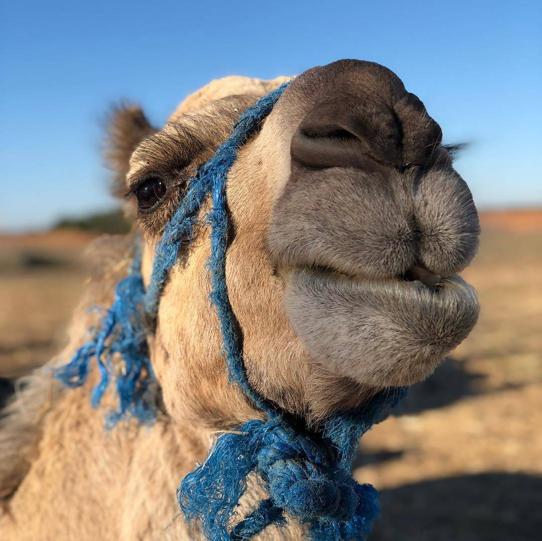 Travelbay Morocco Tours - Travel blog - An insight into travelling in Morocco - camel in Sahara Desert