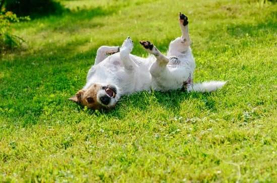 a white and brown jack russel itching his back on the grass