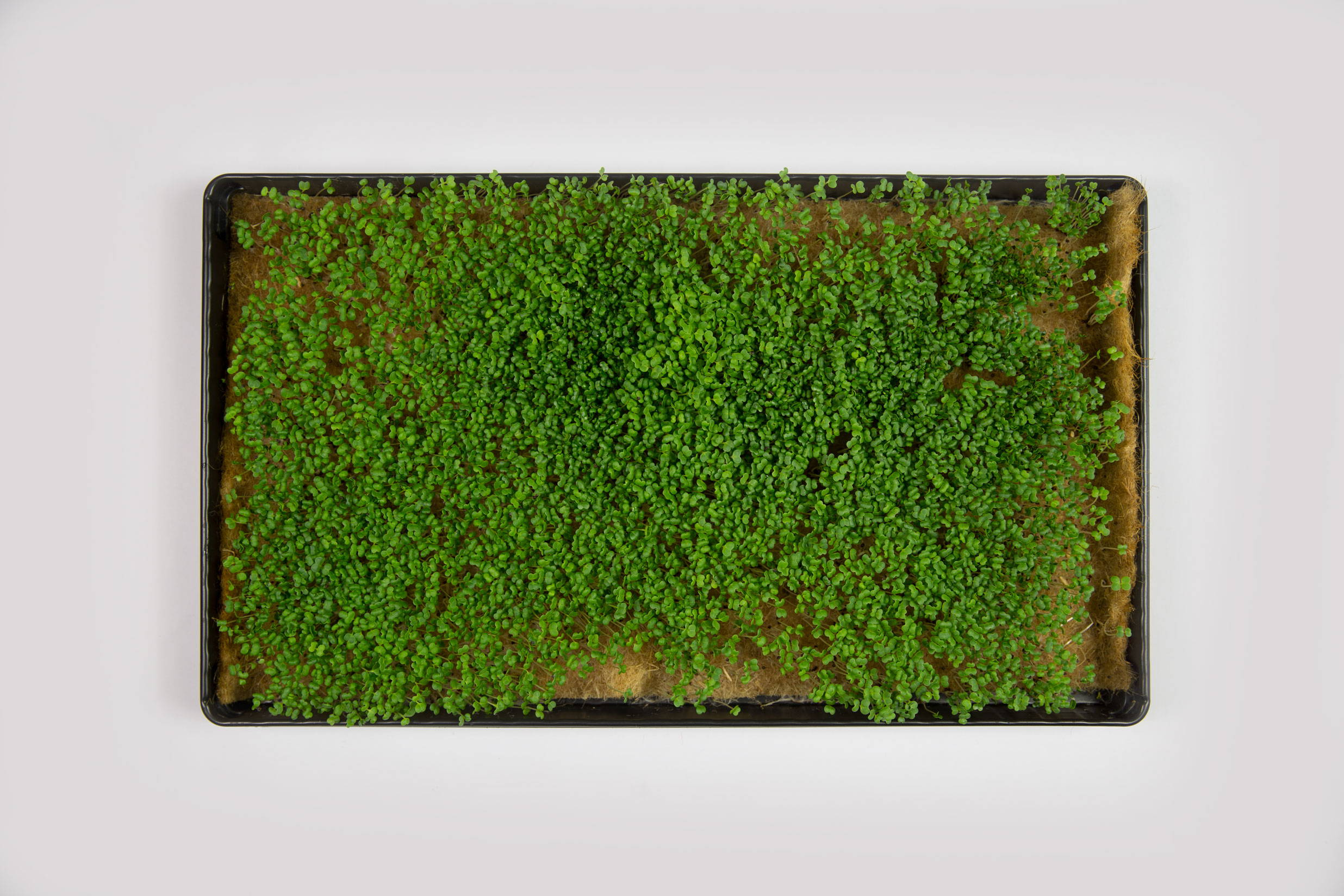 Cima di Rapa Microgreens von der UMAMI Urban Farm