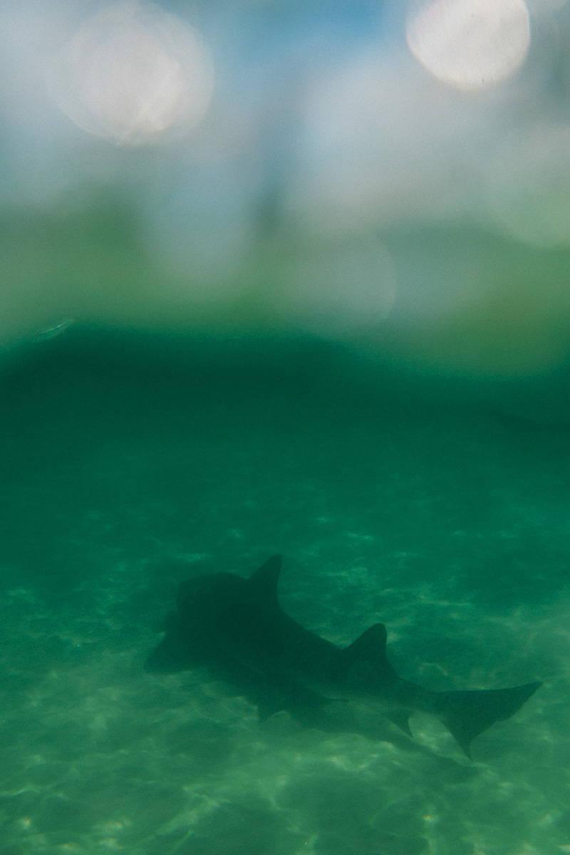 La Jolla Leopard Shark
