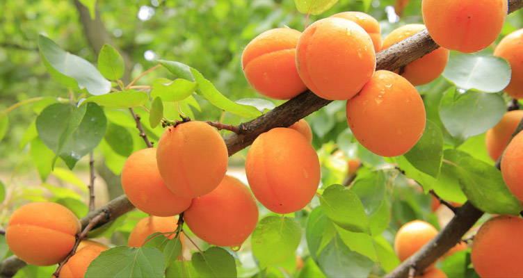 Snoeien abrikoos