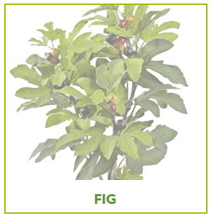 ARTIFICIAL FIG PLANTS