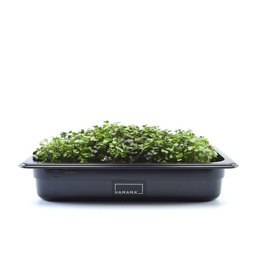 Microgreen kit growing micro salad microgreens.