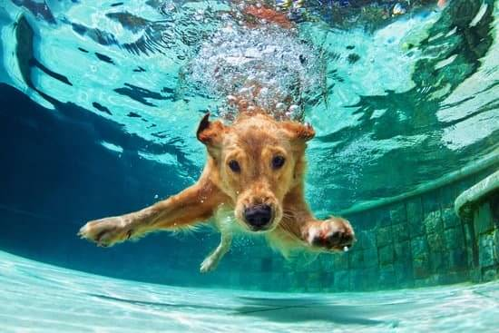 A golden retriever dives into the shallow part of a swimming pool