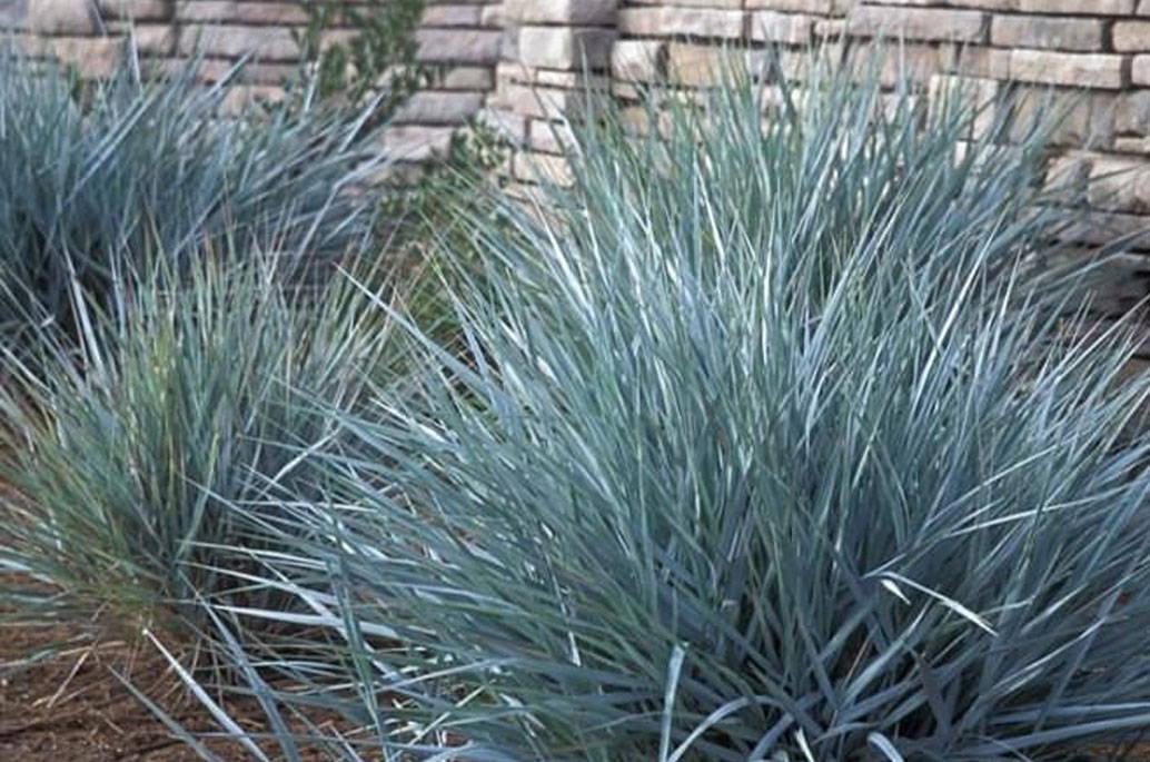 blue-dune-lyme-grass