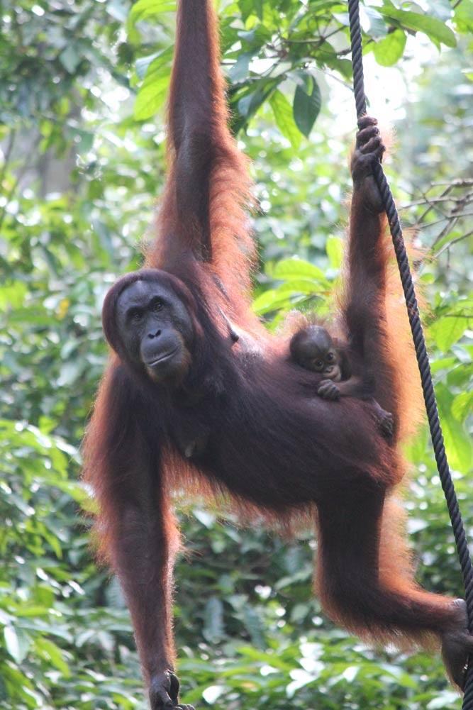 Travelbay Borneo Tours - Customer Review - Orangutan