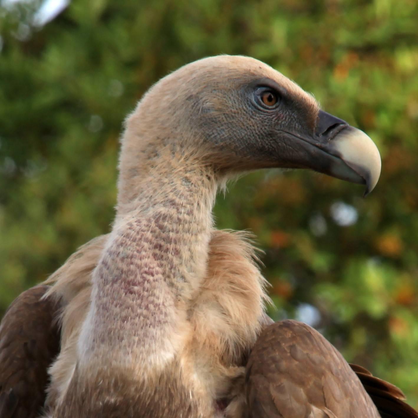 A portrait image of a Griffon vulture