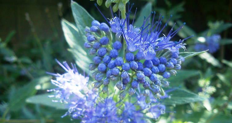 Snoeien blauwe spirea - baardbloem