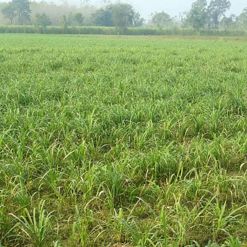 Lemongrass plants growing in the field
