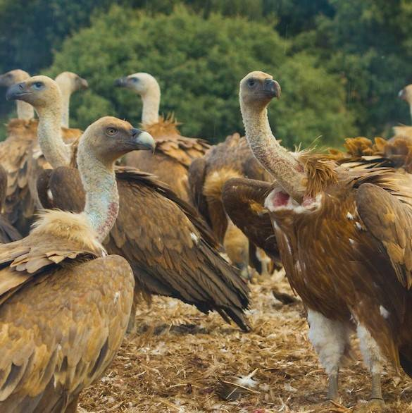A wake of vultures in northern Portugal