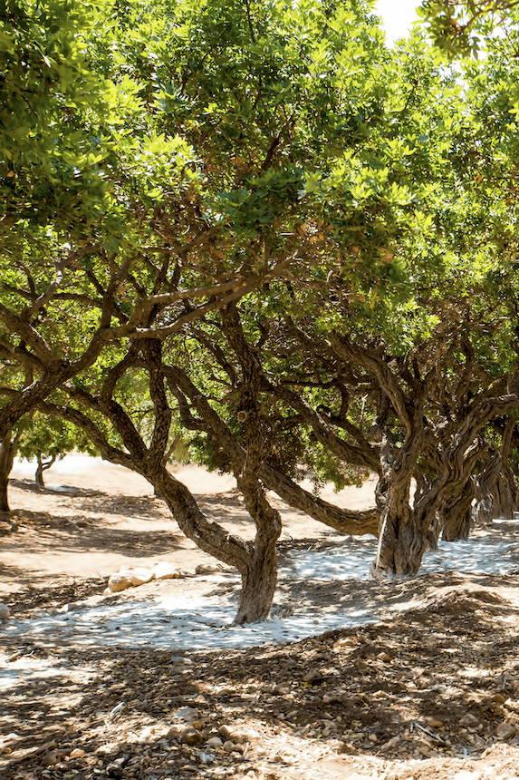 μαστίχα χίου, μαστιχόδεντρο, mastic tree