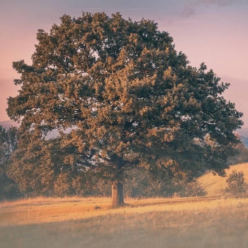 A large European Oak tree at sunset