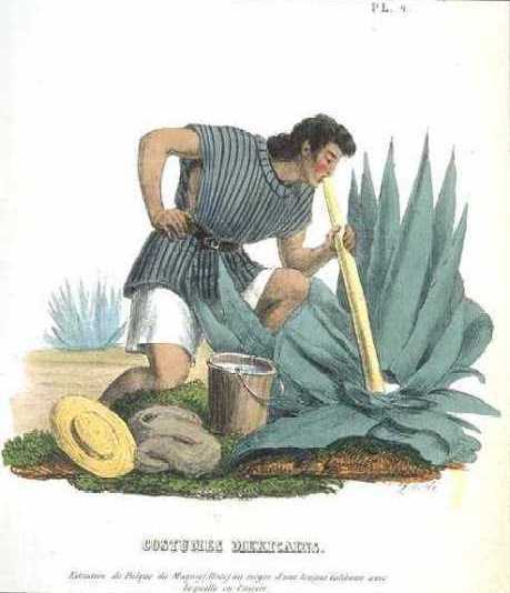 homem extraindo aguamiel da agave