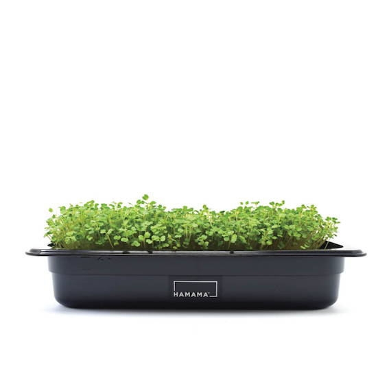 Microgreen kit growing arugula microgreens.