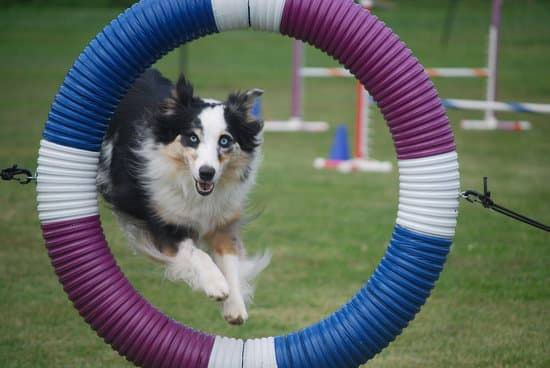a black,white, and tan border collie jumping through a blue, purple, and white hoop