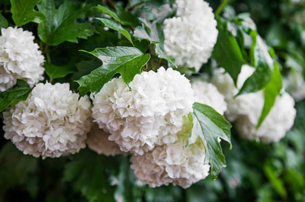 How to Care for Viburnum