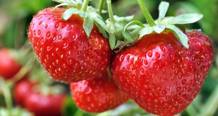 Erdbeeren aus eigenem Garten