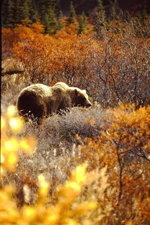 grizzly bear brown bear alaska arctic horse horses arctic horse