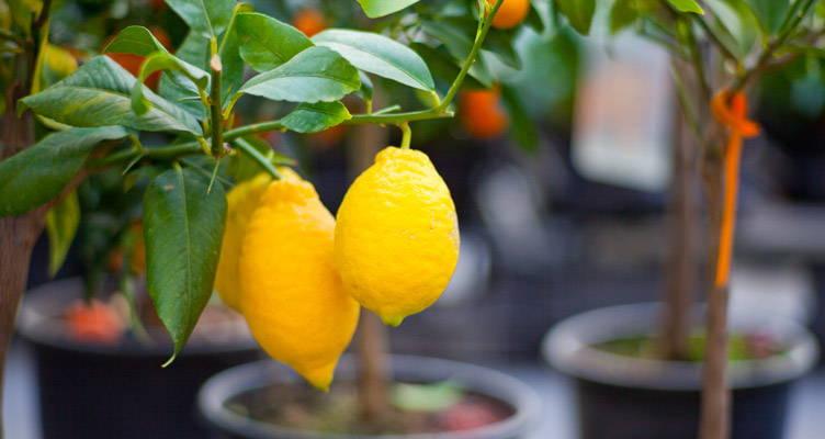 Obst auf dem Balkon oder der Terrasse