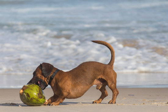 A small brown dog bites a fresh coconut on the beach in front of a shore