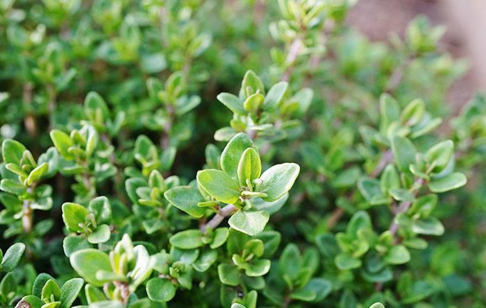 Tomillo planta